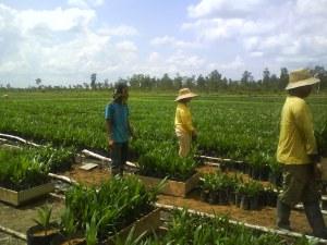 Kesempatan kerja di perkebunan sawit